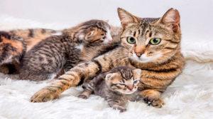 Gestación de una gata