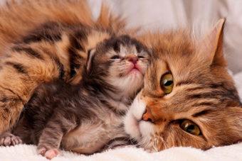 Cómo cuidar una gata embarazada